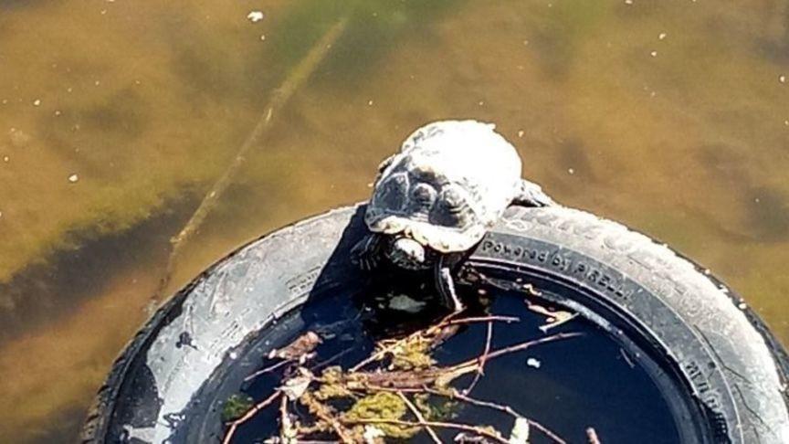 В пруду у Диорамы после зимней спячки проснулась черепаха
